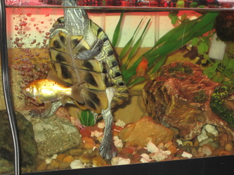 Tank mates for your turtle b h 39 s turtle site for Coy fish tank