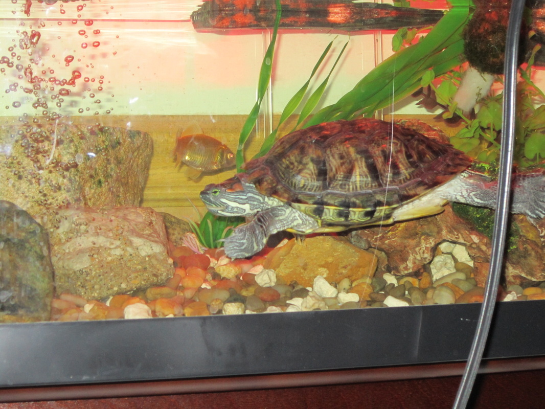 Tank Mates For Your Turtle - B & Hs Turtle Site